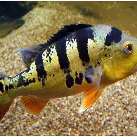 Peacock Bass Cichlid