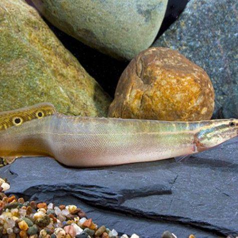 Peacock Eel