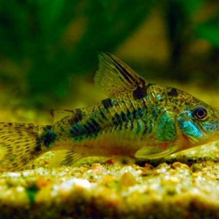 Peppered Cory Catfish