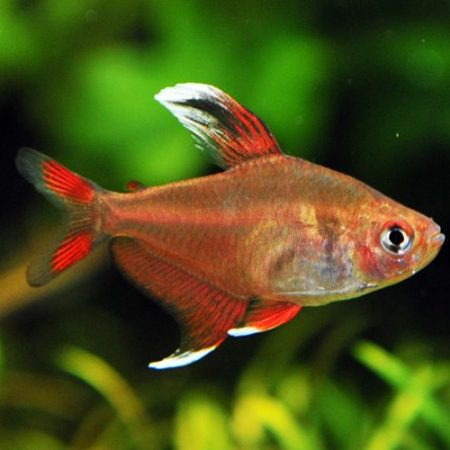 Peppermint HY511 Ornate Tetra