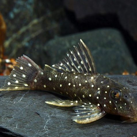 Peppermint Pleco L030