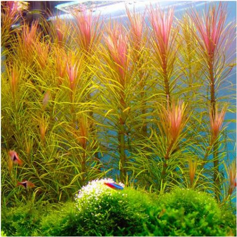 Pink Hippo Grass Bunched Aquarium Plant