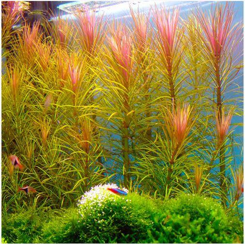 Pink Hippo Grass Bunched Aquarium Plant