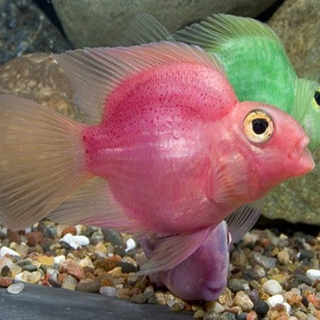 Pink Jellybean Parrot Cichlid