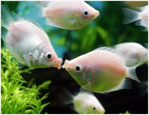 Pink Kissing Gourami Fish