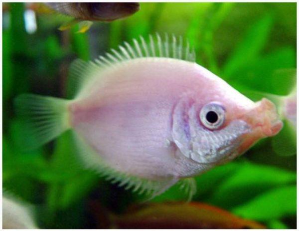 Pink Kissing Gourami Fish