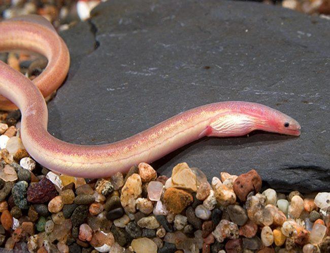Pink Paddletail Eel