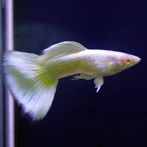 Platinum Guppy Male