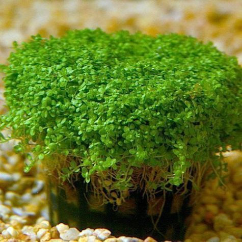 Potted Dwarf Baby Tears Hemianthus Callitrichoides