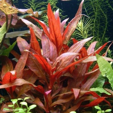 Potted Telanthera Red Temple Bunched Plant