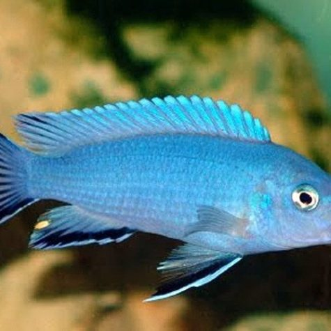 Powder Blue African Cichlid