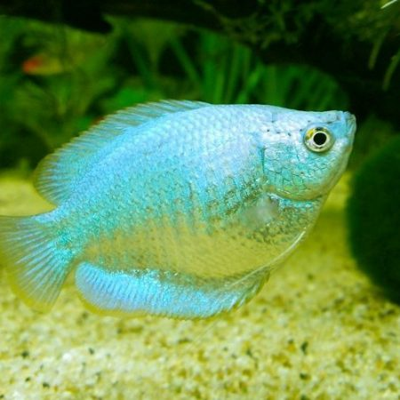 Powder Blue Dwarf Gourami Fish