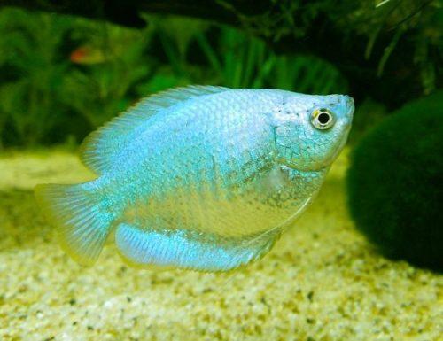 Powder Blue Dwarf Gourami Fish