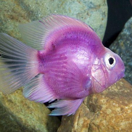 Purple Jellybean Parrot Cichlid