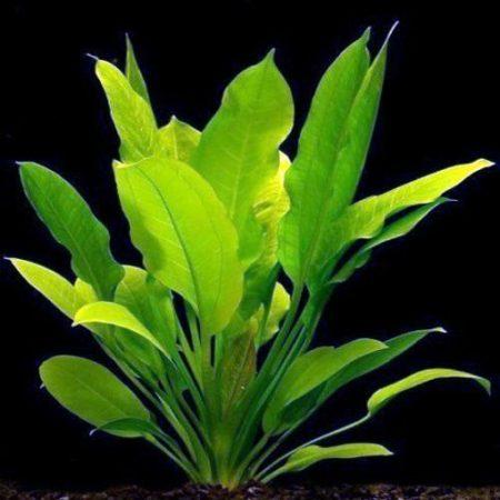 Rangeri Sword Plant Echinodorus argentinensis
