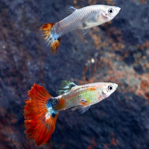 Red Delta Guppy Male & Pairs