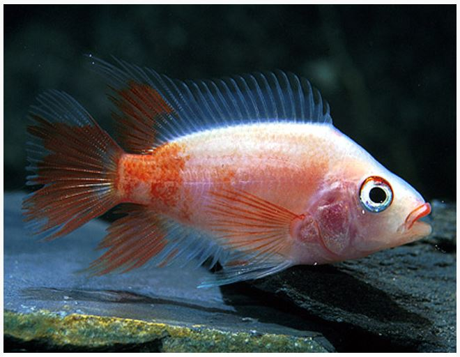 Red Devil Cichlid Freshwater Fish