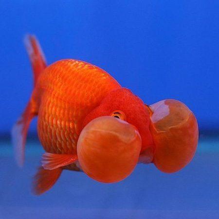Red Dragon Bubble-eye Goldfish