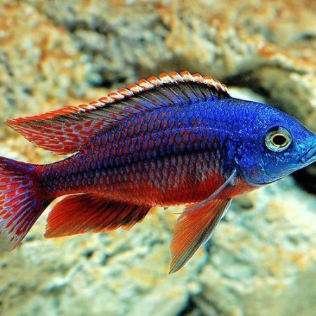 Red Empress East African Cichlid Aquarium fish
