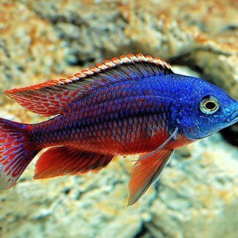 Red Empress East African Cichlid Aquarium fish