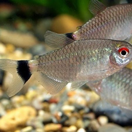 Red Eye Tropical Tetra