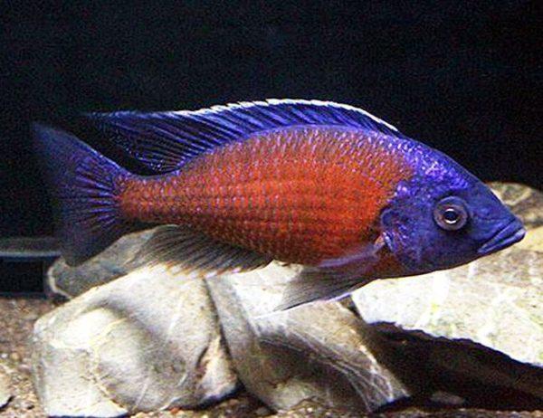 Red Fin Kadango Cichlid