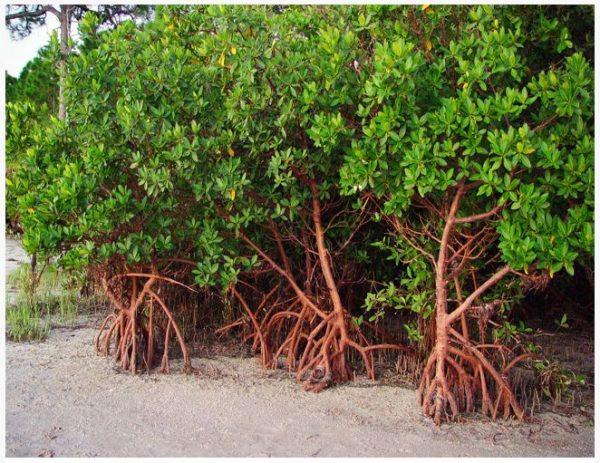Red Mangrove or Rhizophora mangle