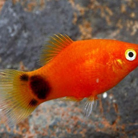 Red Mickey Mouse Platy Aquarium Fish