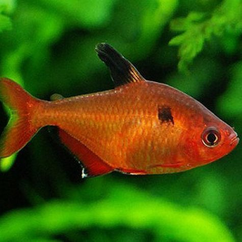 Red Minor Serpae Tropical Tetra