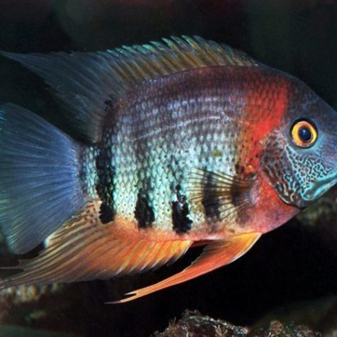 Red Shoulder Severum Cichlid Freshwater Fish