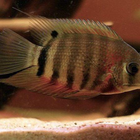 Red Shoulder Severum Cichlid Freshwater Fish small