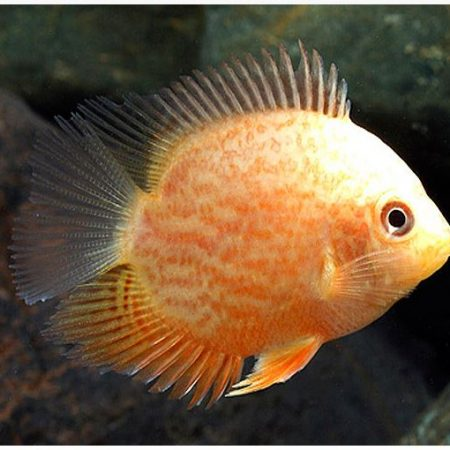 Red-Spotted Gold Severum Cichlid Fish 2