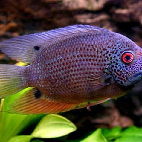 Red-Spotted Turquoise Severum Cichlid Fish