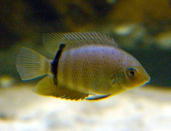 Red-Spotted Turquoise Severum Cichlid Fish Small