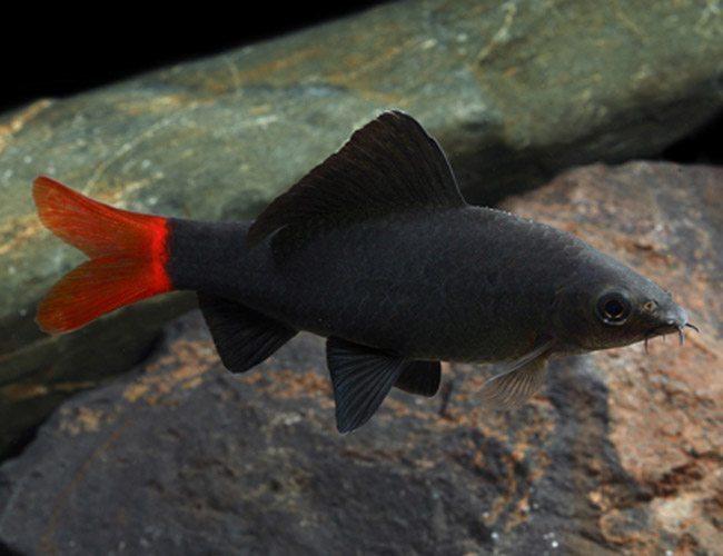Freshwater Shark Red Tailed Shark Arizona Aquatic Gardens