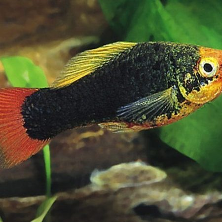 Red-Tailed Black Variatus Aquarium Fish