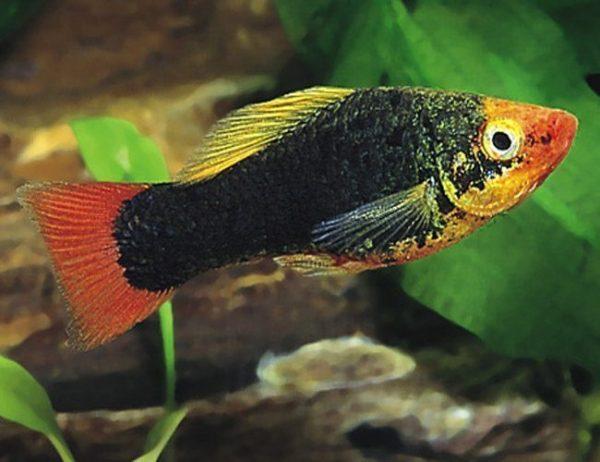 Red-Tailed Black Variatus Aquarium Fish