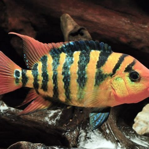 Red Terror Cichlid Pond Fish