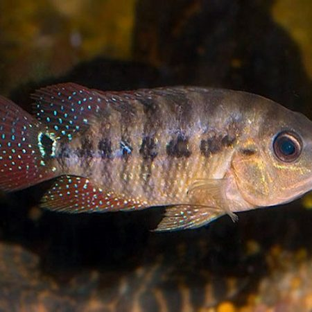 Red Terror Cichlid Pond Fish Small