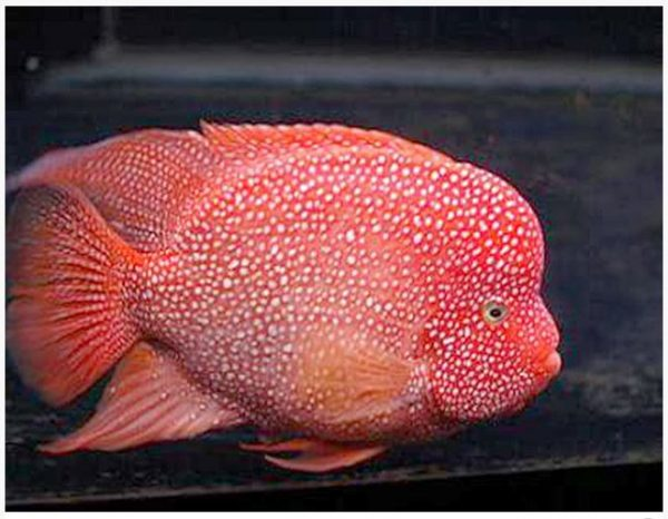 Red Texas Cichlid Breeder