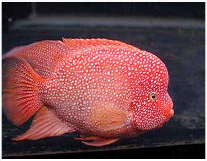 Red Texas Cichlid Breeder