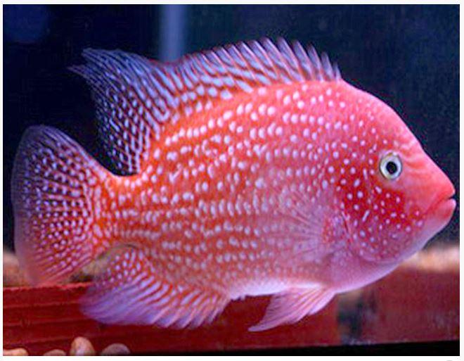 Red Texas Flowerhorn Cichlid 2