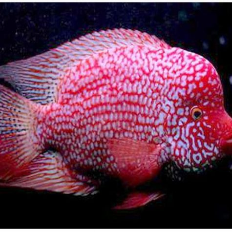 Red Texas Flowerhorn Cichlid