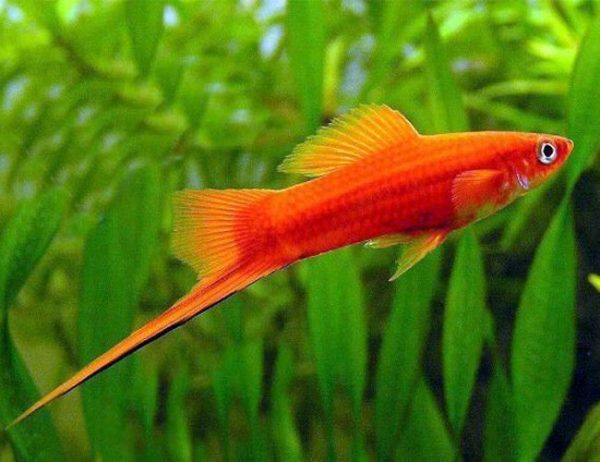 Red Velvet Swordtail Fish in a Freshwater Aquarium