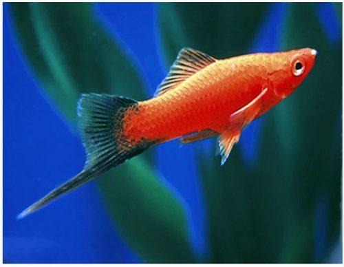 Red Velvet Wag Swordtail Fish 2