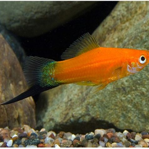 Red Velvet Wag Swordtail Fish