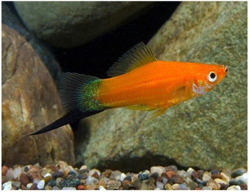 Red Velvet Wag Swordtail Fish