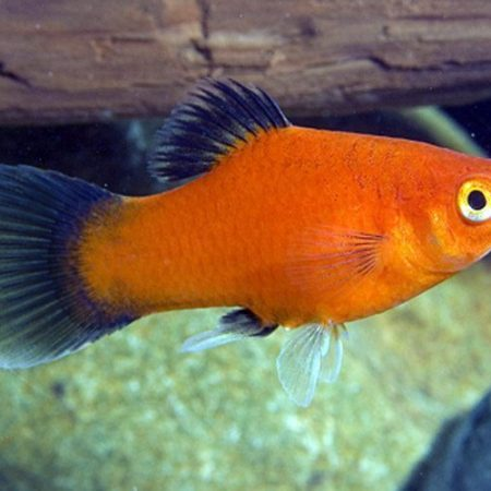 Red Wag Platy Aquarium Fish