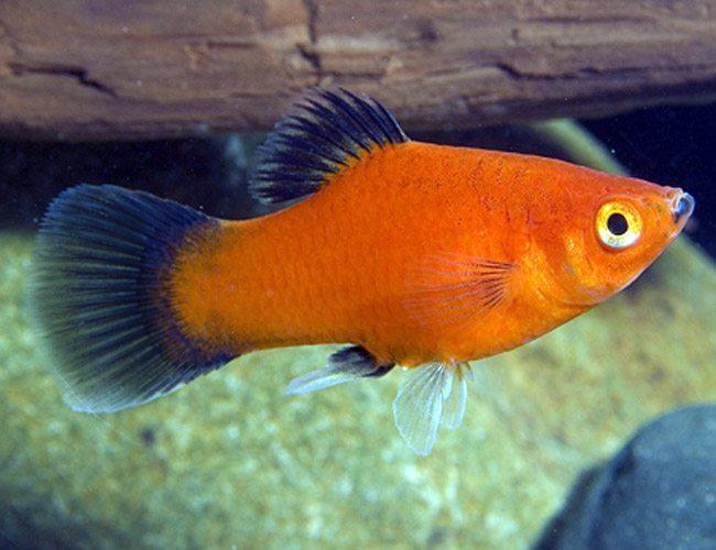 Red Wag Platy Aquarium Fish