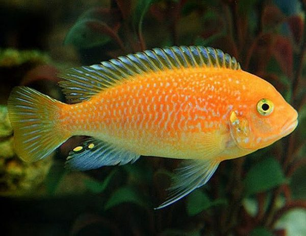 Red Zebra Cichlid Large Rock Dwelling Mbuna